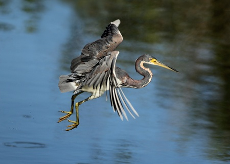 Tricolored Heron  Egretta tricolor  in Flight Stock Photo - 17968753