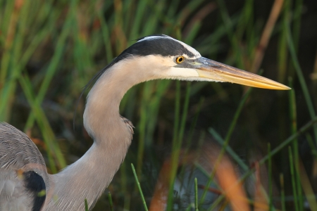 Closeup of Great Blue Heron  Ardea herodias  stalking its prey - Everglades National Park, Florida photo