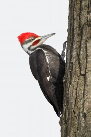 Pileated Woodpecker  Dryocopus pileatus  on the trunk of an oak tree - Grand Bend, Ontario