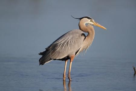 Great Blue Heron  Ardea herodias  - Fort Myers Beach