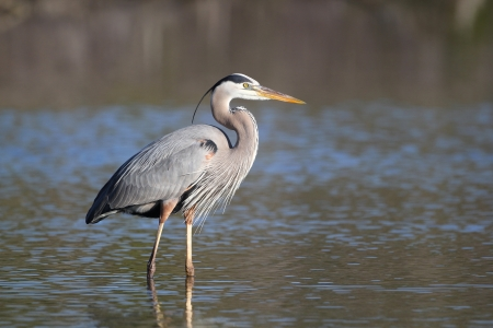 herodias: Great Blue Heron  Ardea herodias  - Fort Myers Beach