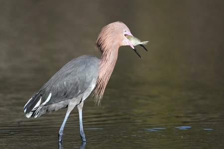 attempting: Reddish Egret  Egretta rufescens  attempting to swallow a large grunt Stock Photo