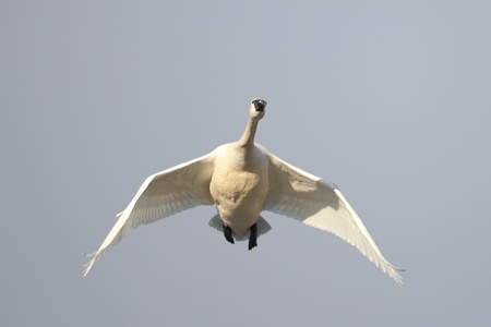tundra swan: Tundra Swan  Cygnus columbianus  flying overhead on spring migration Stock Photo