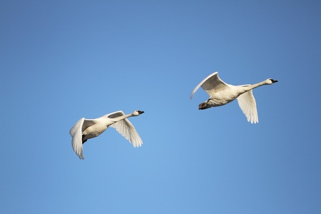 Tundra Swans  Cygnus columbianus  migrating in spring Stock Photo - 18702515