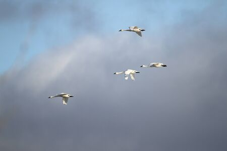 Tundra Swans  Cygnus columbianus  migrating in spring Stock Photo - 18702541