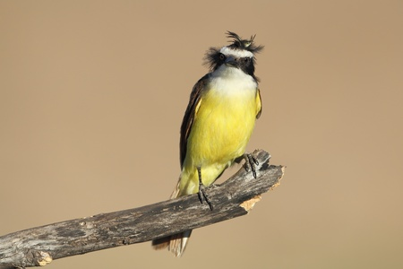 bad hair day: Great Kiskadee (Pitangus sulphuratus) Bad Hair Day -Texas