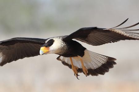 Adult Crested Caracara Caracara cheriway tijdens de vlucht-Texas