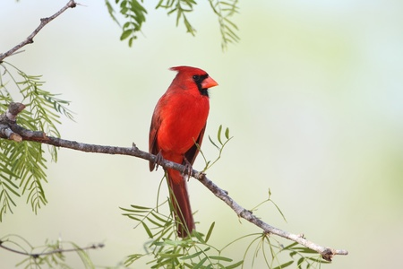 cardinal bird: Male Northern Cardinal  Cardinalis cardinalis  - Texas