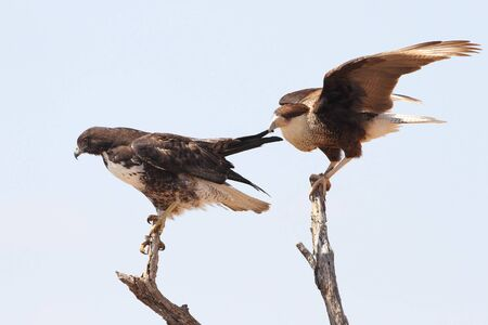 tugging: Crested Caracara  Caracara cheriway  Tugging on the Wing of a White-tailed Hawk  Buteo albicaudatus  - Texas