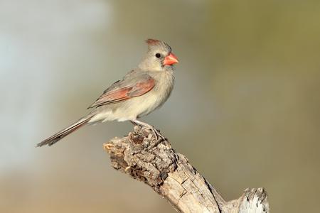 Female Northern Cardinal  Cardinalis cardinalis  - Texas photo