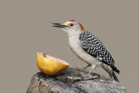Golden-fronted Woodpecker  Melanerpes aurifrons  with its spiny tongue visible as it feeds on a grapefruit  - Texas