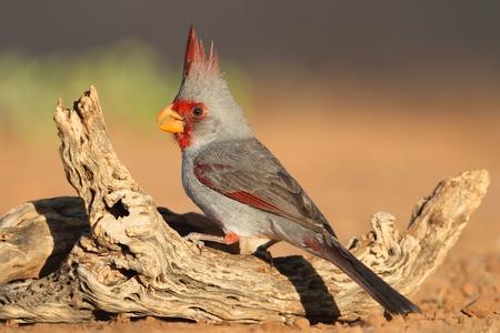 Male Pyrrhuloxias  Cardinalis sinuatus  - Texas