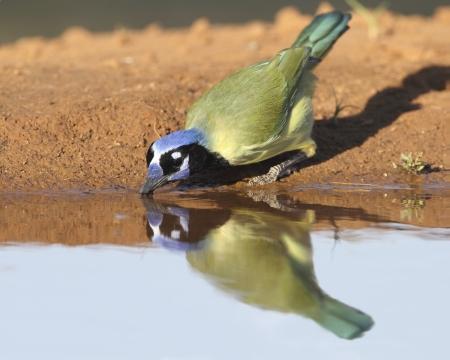 green jay: Verde Jay Cyanocorax potable en un estanque con su reflexión sobre la superficie - Texas