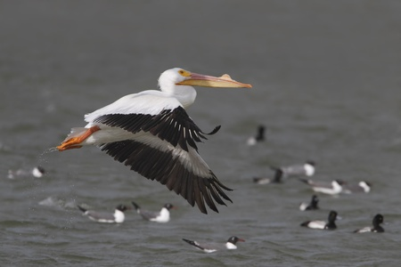 south padre:  White Pelican  Pelecanus erythrorhynchus  flying over Laughing Gulls and Ring-necked Ducks swimming in a bay - Texas