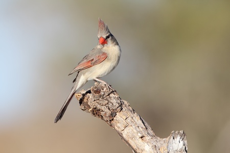 female cardinal: Female Cardinal  Cardinalis cardinalis  perched on a branch - Texas Stock Photo