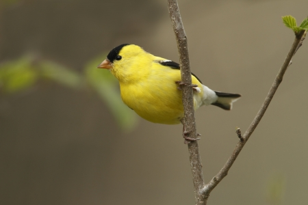 Male American Goldfinch  Spinus tristis  perched in a tree - Ontario, Canada photo