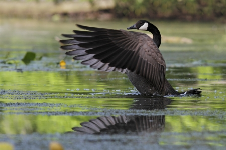 canadensis: Canada Goose (Branta canadensis) on a river flapping its wings - Grand Bend, Ontario Stock Photo