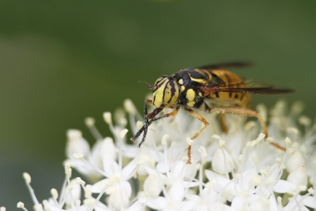 mutualism: Hover Fly that mimics a wasp pollinates an Alternate-leaved Dogwood - Ontario, Canada