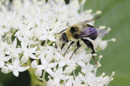 mutualism: Hover Fly that mimics a bee pollinates an Alternate-leaved Dogwood - Ontario, Canada