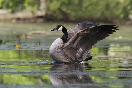Canada Goose  Branta canadensis  on a river flapping its wings - Grand Bend, Ontario