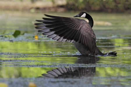 flapping: Canada Goose  Branta canadensis  on a river flapping its wings - Grand Bend, Ontario