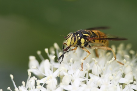 mutualism: Hover Fly that mimics a wasp pollinates a Round-leaved Dogwood - Ontario, Canada Stock Photo