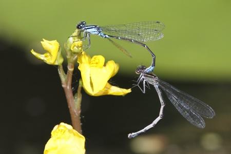 skimming: Skimming Bluet Damselfly Enellagma geminatum apareamiento en una flor Bladderwort - Grand Bend, Ontario