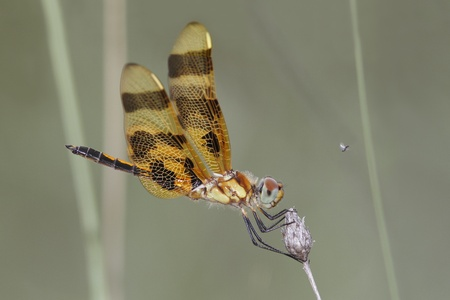 pinery: Painted Skimmer (Libellula semifasciata) - Pinery Provincial Park, ON