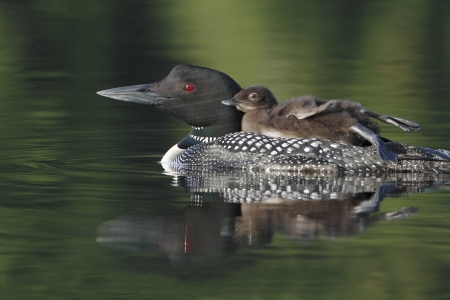 Common Loon  Gavia immer  with Chick Riding on Parent Stockfoto