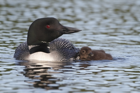 gavia: Common Loon  Gavia immer  Swimming with Young Chick at its Side - Haliburton, Ontario