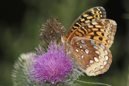 Great Spangled Fritillary  Speyeria cebele  Feeding on the Nectar of a Canada Thistle - Haliburton, Ontario photo