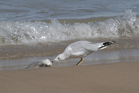 pinery: Ring-billed Gull  Larus delawarensis  Feeding on a Carp Washed Up On the Beach - Pinery Provincial Park, Ontario Stock Photo
