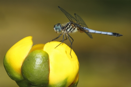 pinery: Male Blue Dasher  Pachydiplax longipennis  on a Yellow Pond Lily - Pinery Provincial Park, Ontario Stock Photo