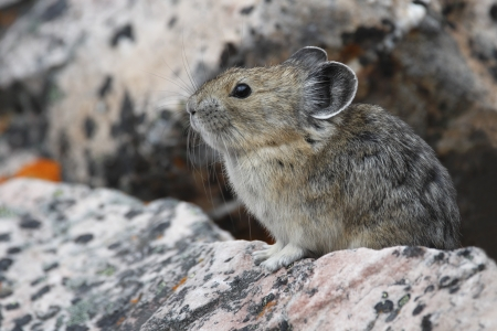 American Pika  Ochotona princeps  on a granite rock - Jasper National Park, Alberta