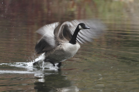 Canada Goose  Branta canadensis  Taking Flight - Ontario, Canada photo