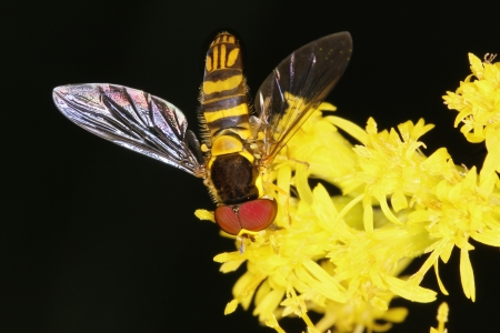 syrphid fly: Syrphid Fly Mimicking a Bee on Goldenrod - Ontario, Canada