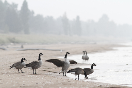 webbed legs: Small Flock of Canada Geese  Branta canadensis  on the Shore of Lake Huron - Ontario, Canada  Stock Photo