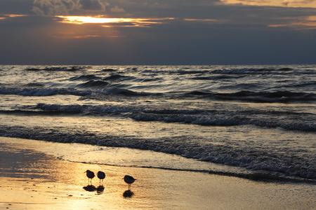 huron: Semipalmated Sandpipers  Calidris pusilla  on Beach at Sunset - Lake Huron, Ontario Stock Photo