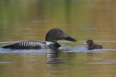 Common Loon  Gavia immer  Baby and Parent - Haliburton, Ontario