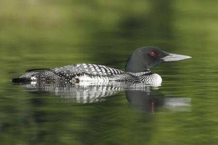 gavia: Common Loon (Gavia immer) and Reflection on a Northern Ontario Lake