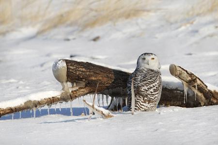 Snowy Owl (Bubo scandiacus) on Snow Covered Lake Huron Beach - Grand Bend, Ontario