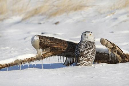 Snowy Owl  Bubo scandiacus  on Snow Covered Lake Huron Beach - Grand Bend, Ontario