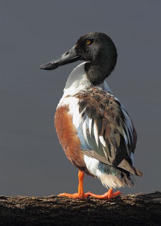 北部のシャベルですくう人 Anas clypeata ログ - サンタ アンナ野生生物保護区、テキサス州の上に立って