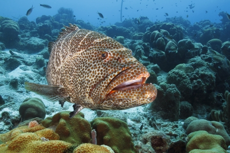 Tiger Grouper  Mycteroperca tigris  Patrolling a Coral Reef - Bonaire Stock Photo