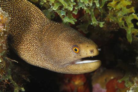 Goldentail Moray  Gymnothorax milliaris  - Bonaire 免版税图像