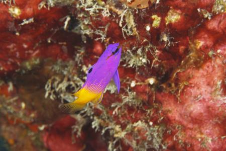 basslet: Grama real Gramma loreto en un arrecife de coral - Bonaire