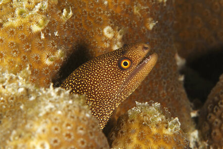 bonaire: Goldentail Moray  Gymnothorax milliaris  - Bonaire Stock Photo