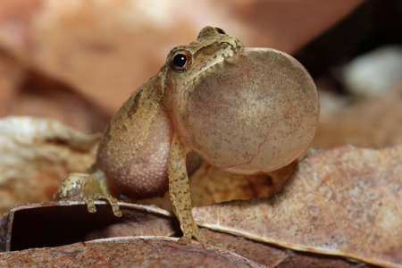 middlesex: Male Spring Peeper  Pseudacris crucifer  With Vocal Sac Inflated as it Sings