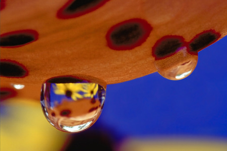 middlesex: Closeup of Rain Drops on a Tiger Lily Petal