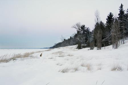 huron: Coyote on Snow Covered Lake Huron Beach - Grand Bend, Ontario, Canada